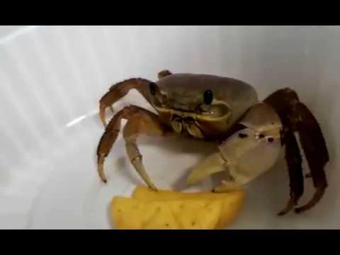 Домашний краб ест чипсы