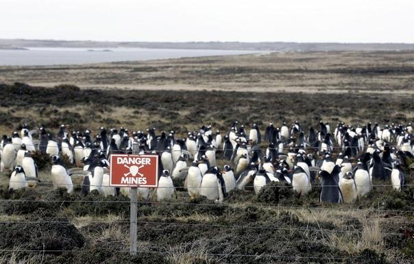 Северные хохлатые пингвины на минном поле в бухте idney Cove, неподалеку от Порт-Стэнли