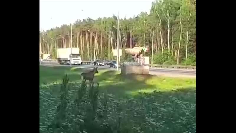 Молодой лосёнок вышел на Монинское шоссе