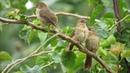 Minha primeira observação de pássaros Em Araras MG Com camera superzoom Full HD