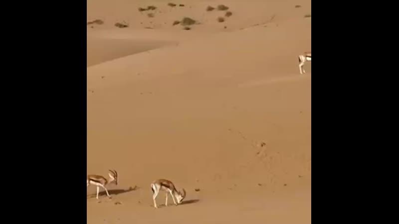 غزال الصحراء(720p).mp4
