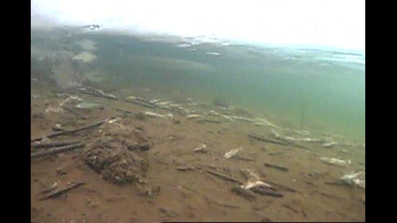 006 Погибший судак у новой пристани.