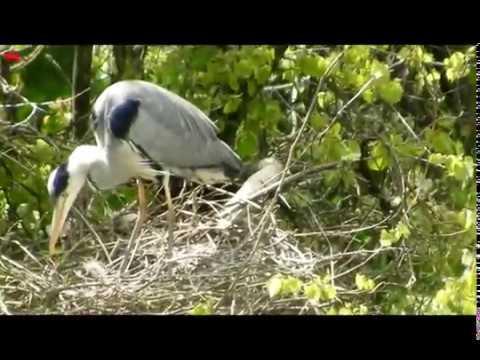 Вылупились птенцы 10 мая (нем. Nestlinge schlüpften) (анг. Nestlings hatched)