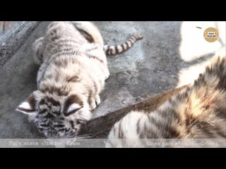 Тигрята и нетерпеливые медведи. тайган. cubs and impatient bears. taigan