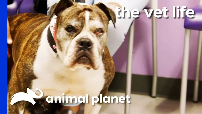 Rescued Bulldog Needs An Operation On Her Irritated Eye | The Vet Life
