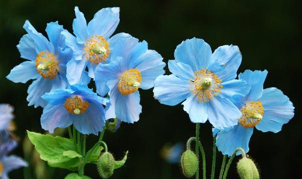 МЕКОНОПСИС Род Меконопсис (Meconopsis )насчитывает 45 видов многолетних травянистых растений из семейства Маковые. В природе растет в Гималаях и является национальным цветком Бутана. В народе