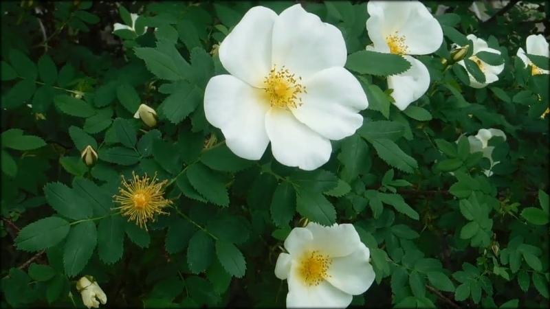 Природа. Цветущий шиповник