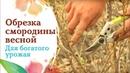 Весенняя обрезка смородины. Советы агронома