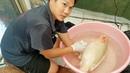 Спасение и лечение раненного карпа кои, выпрыгнувшего из пруда / Saving and treating an injured koi fish that jumped out of a pond