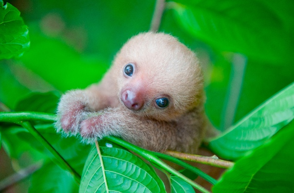 На фото  детеныш двупалого ленивца, или унау.
