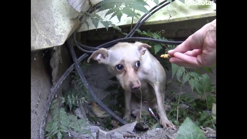 💚 Chihuahua sin hogar temía ser rescatada 🐕