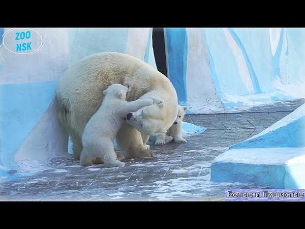 Получивший подзатыльник медвежонок-сын вызвал маму на матч-реванш
