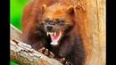 Росомаха - свирепый и бесстрашный зверь!