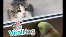 Parrot Plays Peek-a-Boo with Neighbors Cat || ViralHog