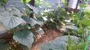 Выращивание огурцов томатов перца кабачков / Зеленая Планета прогулка по теплице 20 мая 2018