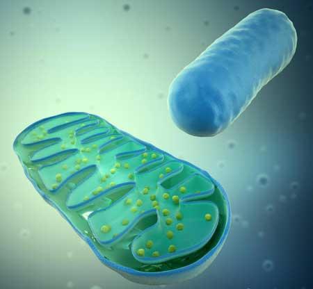 Митохондриальные расстройства влияют на митохондрии, известные как двигатели клеток.