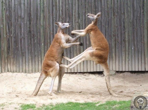 Удивительные факты про кенгуру, которых вы могли не знать Слово «кенгуру» происходит из кууку-йимитирского языка австралийских аборигенов-каннибалов, которые называли этих животных «anguroo» или