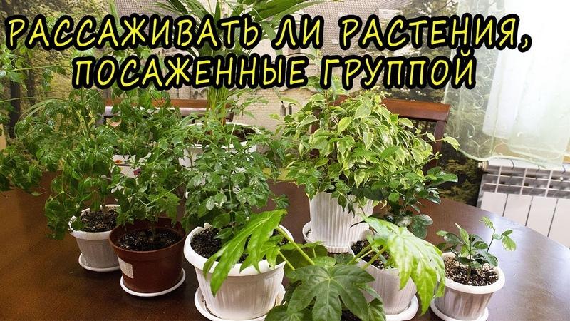 Рассаживать ли растения, посаженные группой 🌺 [Надежда и мир]