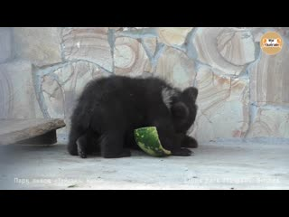 Борьба медвежат за арбузную корку) тайган. fighting bears for watermelon rind) taigan.
