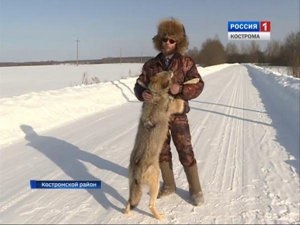 Житель посёлка Шувалово в Костромском районе приручил… волка