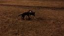 Щенок Сиба-ину (5 месяцев) VS Щенок Лабрадора-Ретривера (3 месяца). Мизу нашла себе подругу✔