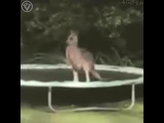 Что будет если кенгуру прыгнет на батут?