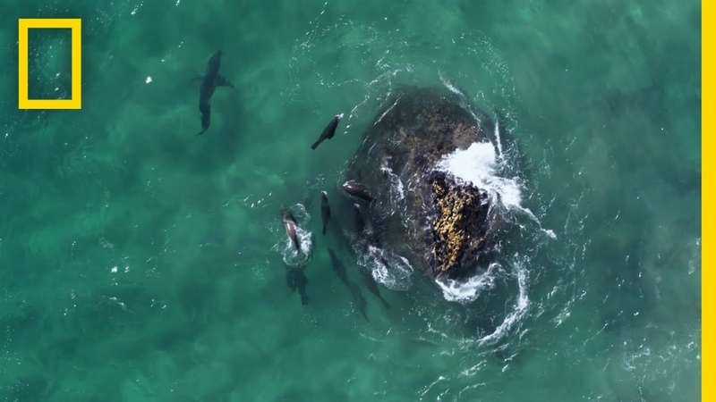 Fur Seals vs Great White Sharks Hostile Planet