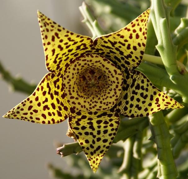 Стапелия гигантская Многолетний суккулент стапелия (Stapelia) является представителем семейства Ластовневые. Данный род объединяет примерно 100 различных видов. Пo всемy миpу это уникaльное