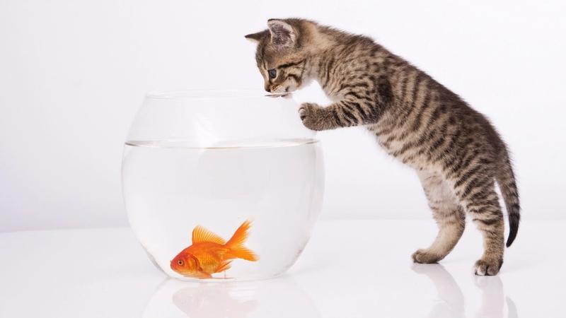 Картинка котёнок. Золотая рыбка, белый фон, аквариум. Hình ảnh một con mèo con. Cá vàng, nền trắng