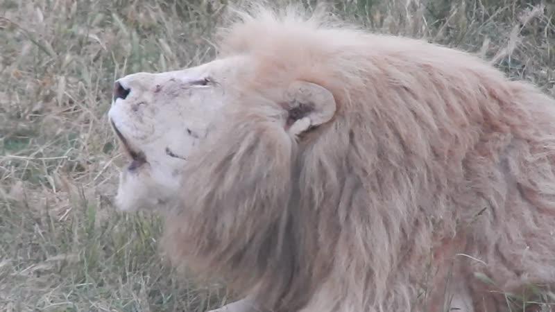 Львы в вечерней саванне