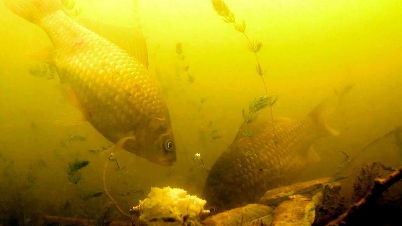 Снасть УБИЙЦА КАРАСЯ Поклевка Подводная съемка