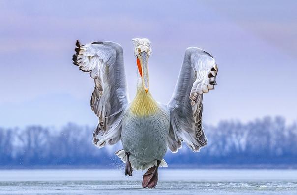 Кудрявый пеликан на озере Керкини, Греция Отличительная черта птицы «прическа». Из-за длинного оперения в районе головы и шеи образуется изящный кудрявый хохолок Фото: Caron