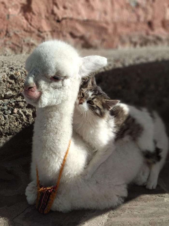 Альпака и кошка