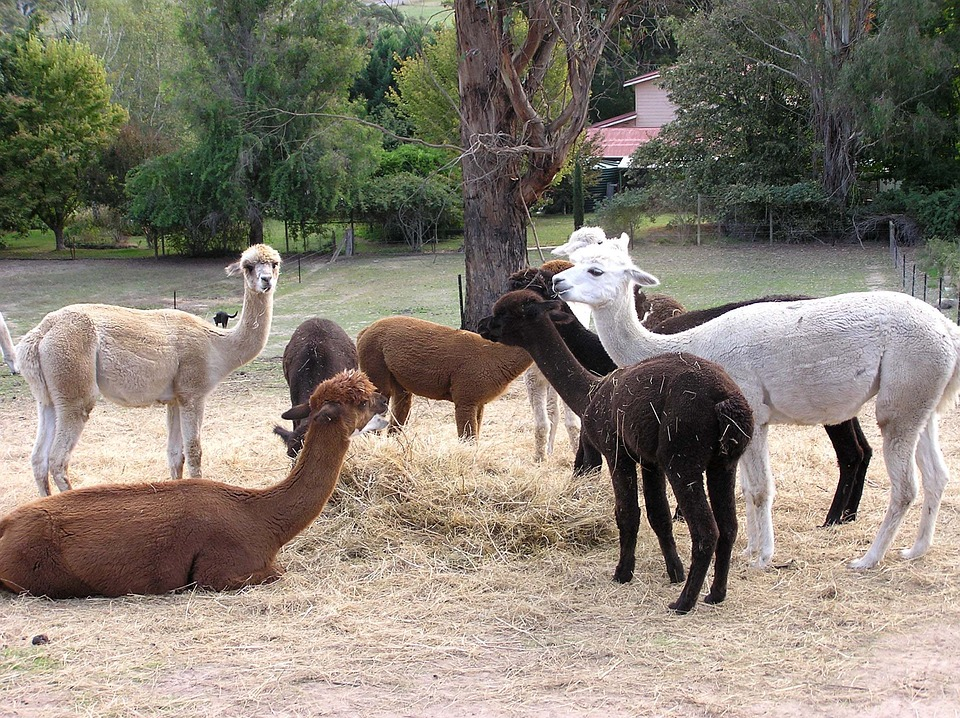 Альпака из семейства верблюдовых