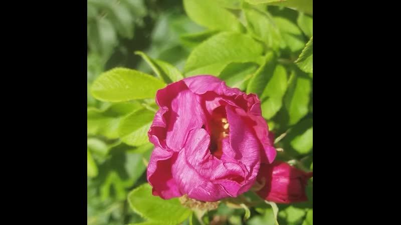 Обожаю аромат цветка шиповника и пушистенькие жопки шмелей