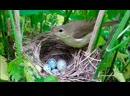 Яйцо кукушки – ящик Пандоры