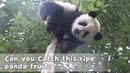 Can you Catch this ripe panda fruit iPanda