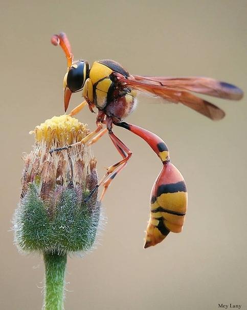 Одиночные осы или Эвмены  большое подсемейство настоящих ос, ранее рассматриваемое в качестве отдельного семейства (лат