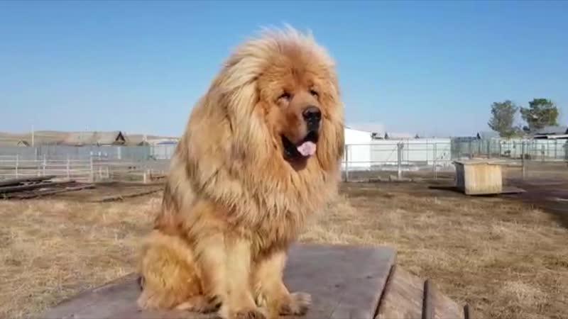 Тибетский мастиф Лавли Фром Бордо Дешен - собака лев.