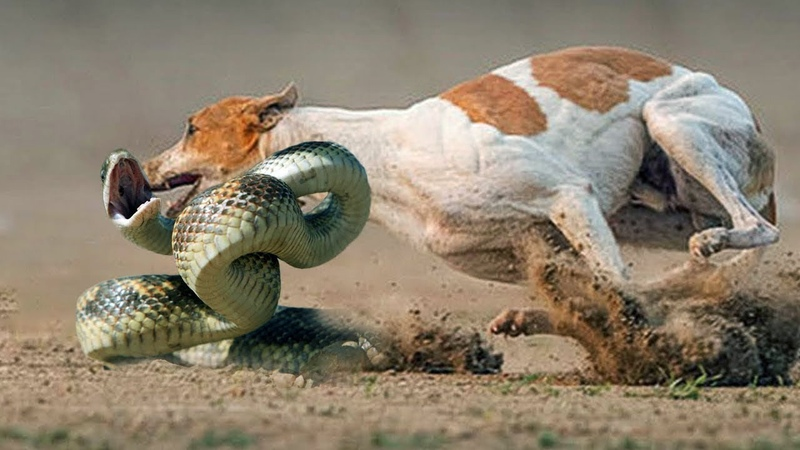 Animals vs Dog vs King cobra vs mongoose Extreme CRAZY actions of animals Chó Và Rắn