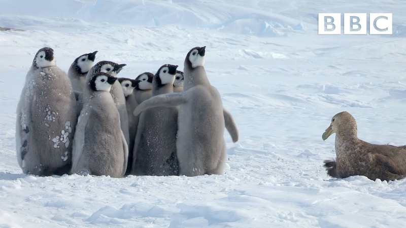 Penguin chicks rescued by unlikely hero Spy in the Snow BBC