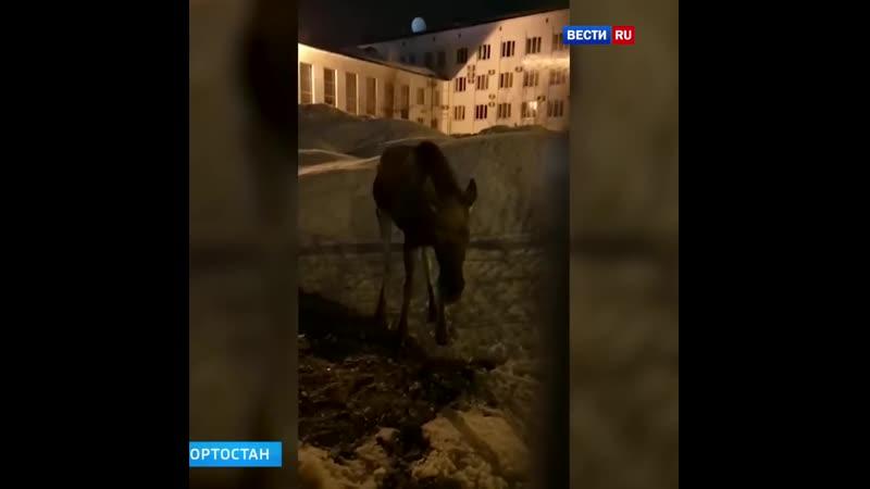 Колыбельная для лося: спасение заблудившегося сохатого сняли на видео в Башкирии.