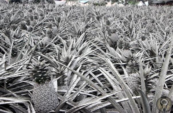 ФИЛИППИНЫ ПОД ПЕПЛОМ 50 оттенков серого так выглядели живописные ландшафты Филиппин после извержения вулкана Тааль в середине января этого года. Фоторепортаж.Вулкан Тааль в 70 км от филиппинской