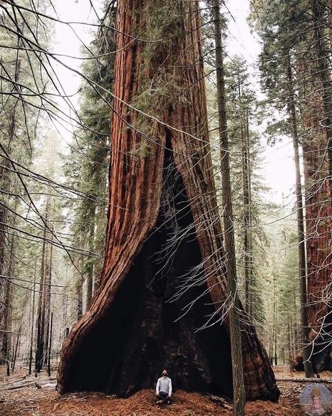 Огромное дерево в Национпльном парке, Калифорния