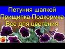 Петуния Секреты пышного Цветения Прищипка Подкормка Уход Черенкование Petunia Рим Маджента