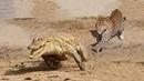 ЛЕОПАРД В ДЕЛЕ! Леопард против крокодила, гиены, антилопы