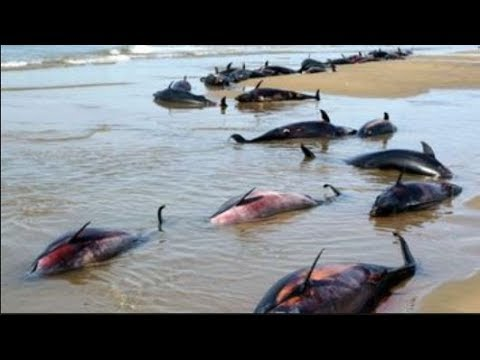 5G Dolphins Massmurder by Navys Submarine to Airplane in Endtimes Scenario on Frances Beaches