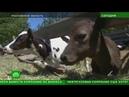 Ростовским фермам грозит разорение из-за проблем с продажей молока