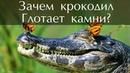 Зачем крокодилы глотают камни