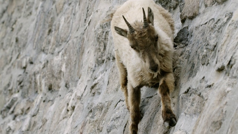 The incredible ibex climbs a dam Forces of Nature with Brian Cox Episode 3 BBC One
